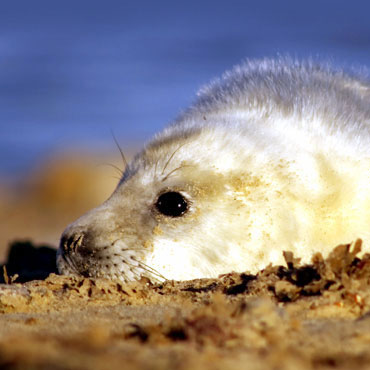 Seal Pups on Blakeney Point, Blakeney Point, North Norfolk Coast | The perfect activity while staying at Deepdale - Take a boat trip to see the seal pups in their natural environment basking on Blakeney Point | Deepdale Backpackers & Camping Events, Courses & Activities
