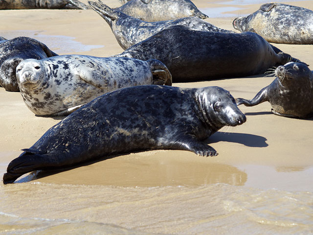 Seal Pups on Blakeney Point, Blakeney Point, North Norfolk Coast | The perfect activity while staying at Deepdale - Take a boat trip to see the seal pups in their natural environment basking on Blakeney Point | trips. pups. blakeney, point, north norfolk coast, seals